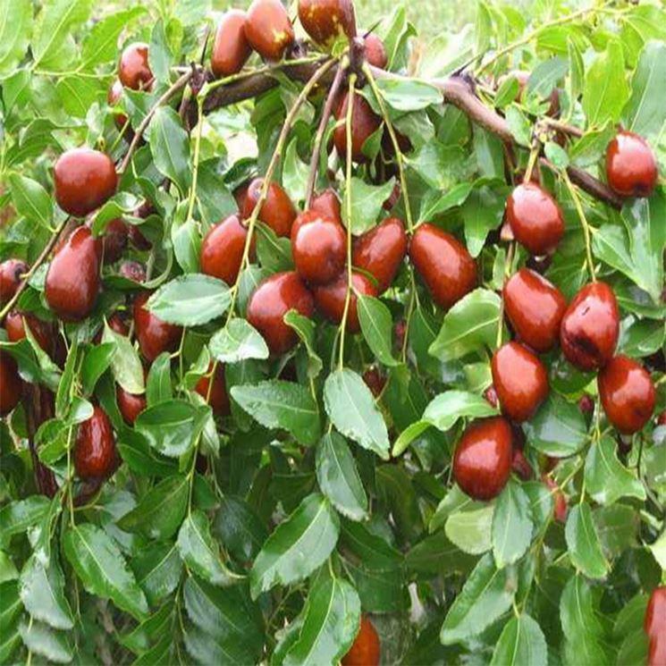 Giuggiole frutteto frutto giuggiola for Pianta nocciolo prezzo