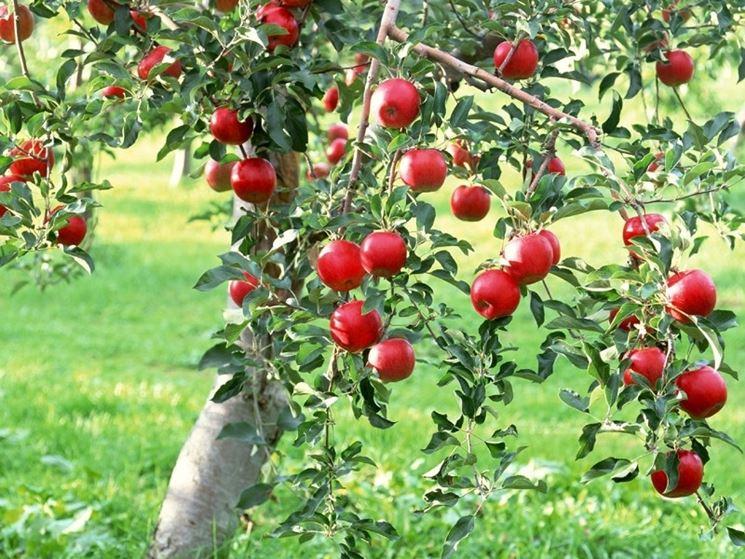 Mele rosse varietà albero