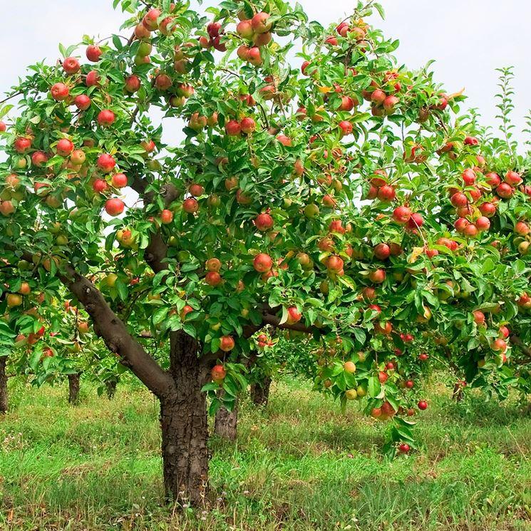 gli alberi da frutto frutteto coltivazione frutti