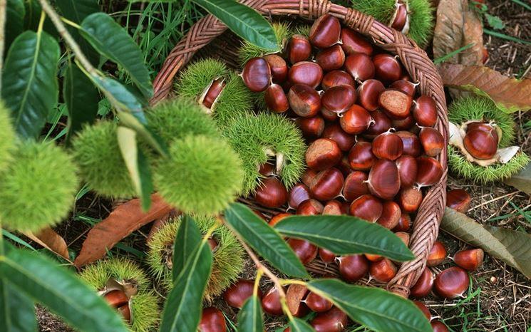 Frutti di castagno