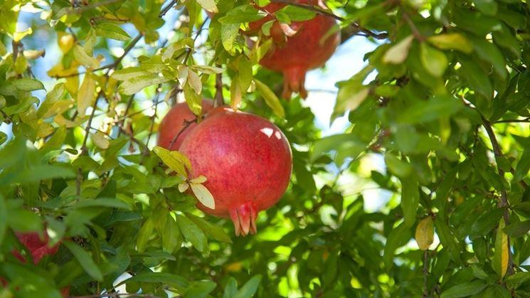 Melagrana frutto