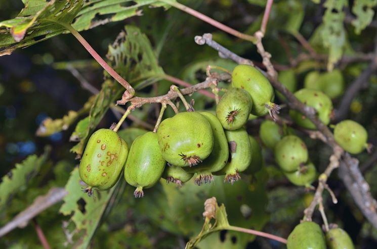 Kiwi malati
