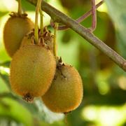 Kiwi frutti