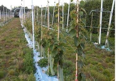 Kiwi coltivazione frutteto for Pianta kiwi prezzo