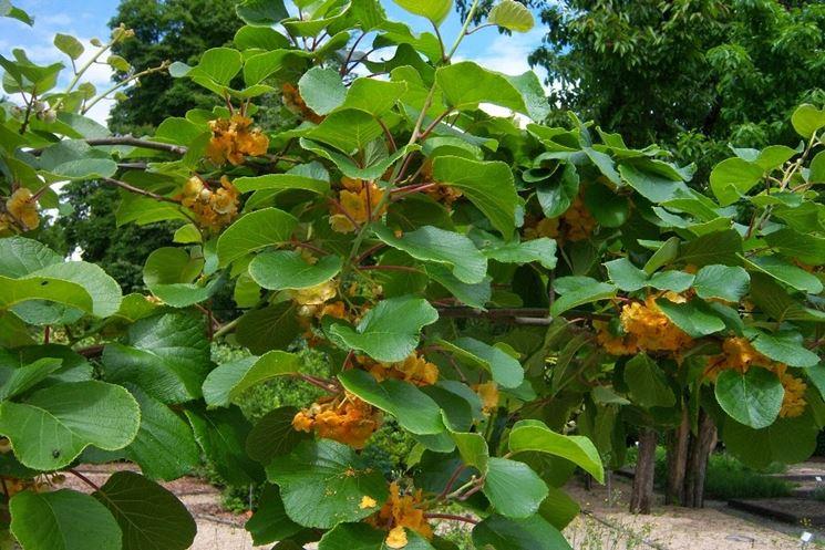 Kiwi piante