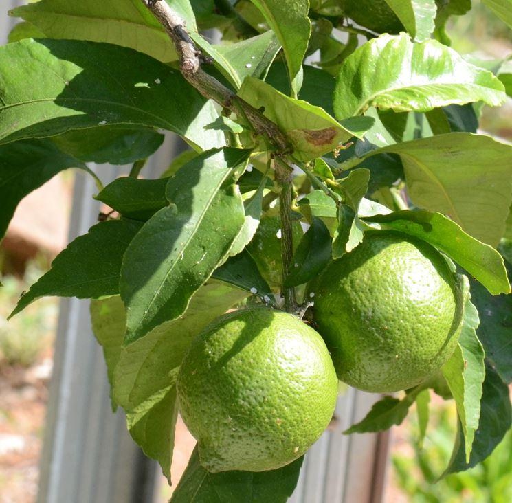 Albero lime
