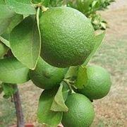 pianta lime