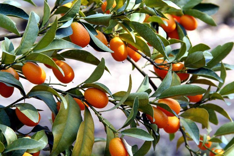 Mandarini cinesi