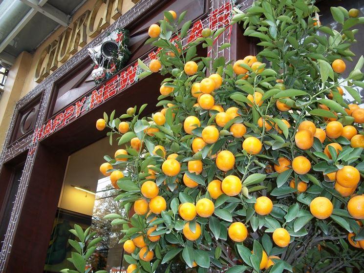 Pianta mandarini cinesi