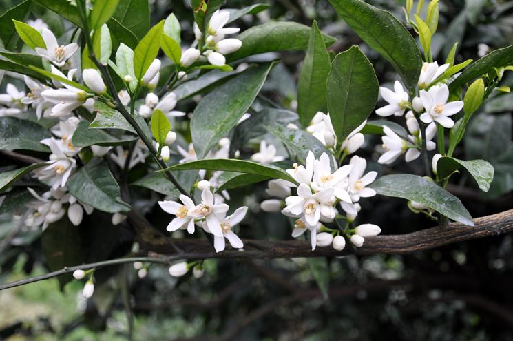 fiori mandarino