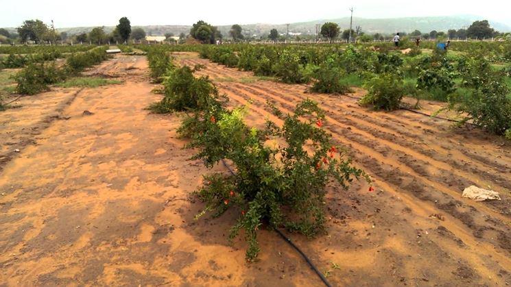 Irrigazione melograno