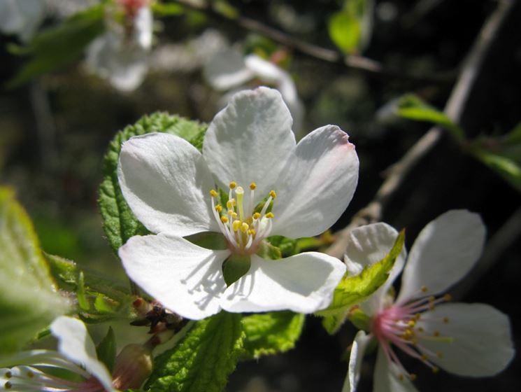 Amolo fiore