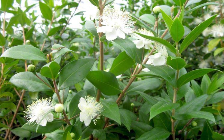 Mirto pianta frutteto coltivazione mirto for Pianta mirto
