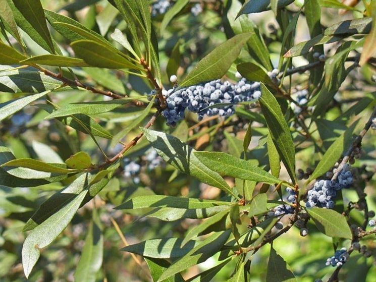 Frutti pianta mirto