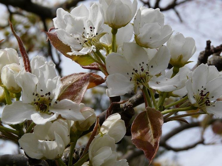 Fiore nashi