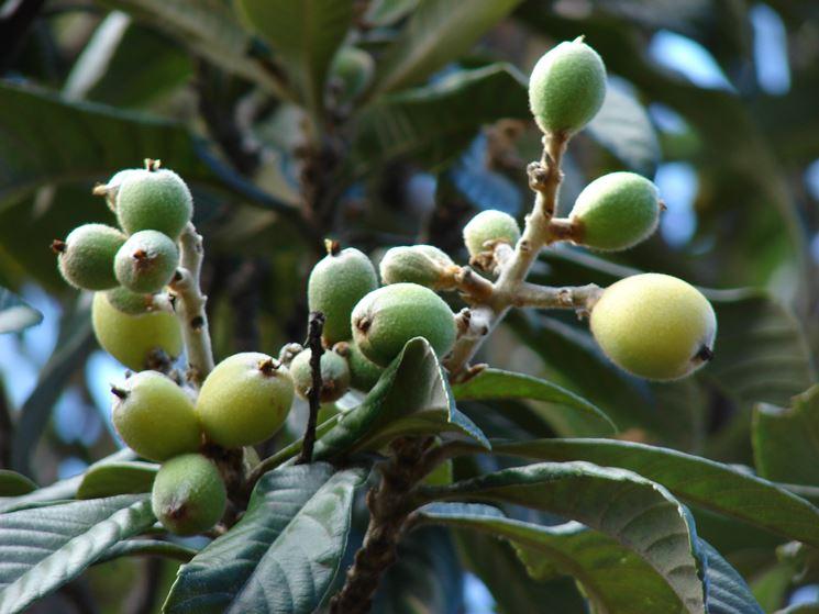 nespolo giapponese frutti