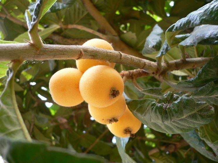 nespolo giapponese frutteto albero nespole