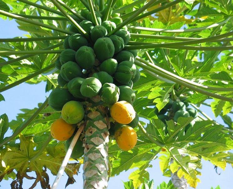 Papaye in processo di maturazione