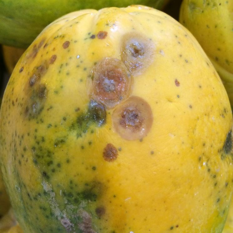 Papaya antracnosi