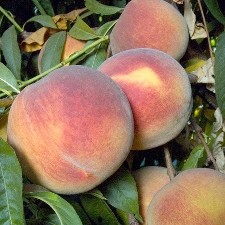 Ramo frutti