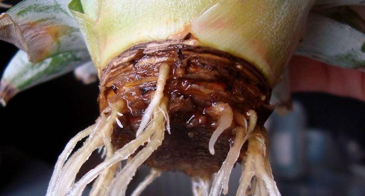 ciuffo d'ananas con radici