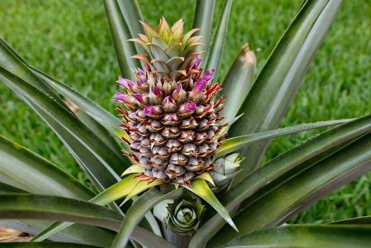 infruttescenza della pianta dell'ananas