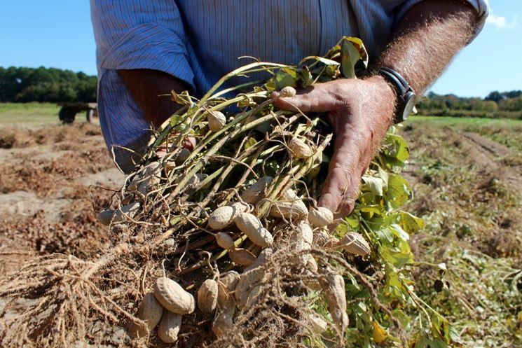 Pianta di arachidi seminata in vaso