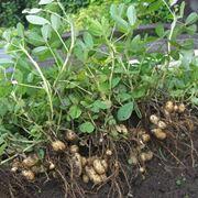 pianta arachidi