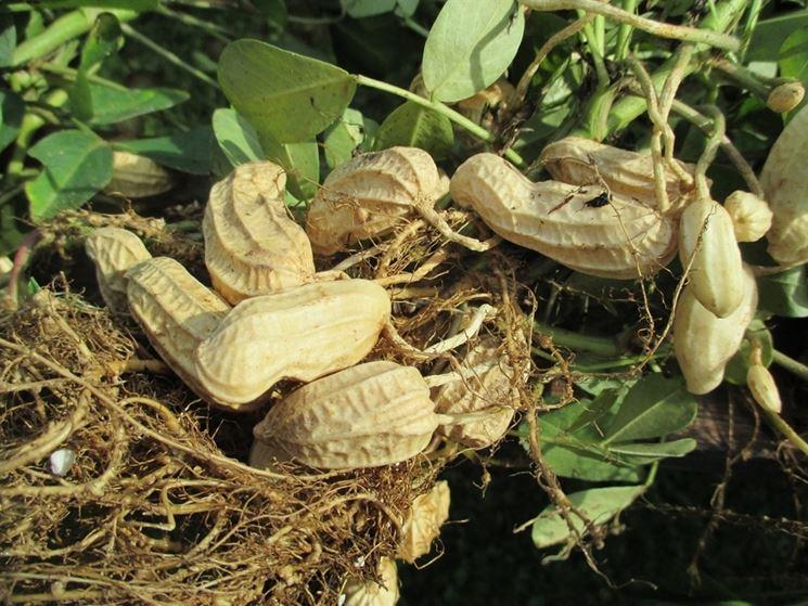 Arachidi pronte per l'essiccatura