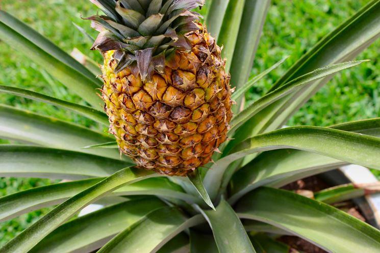 Frutto della pianta di Ananas