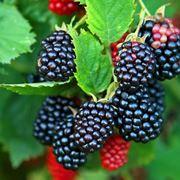 Frutti raccolta