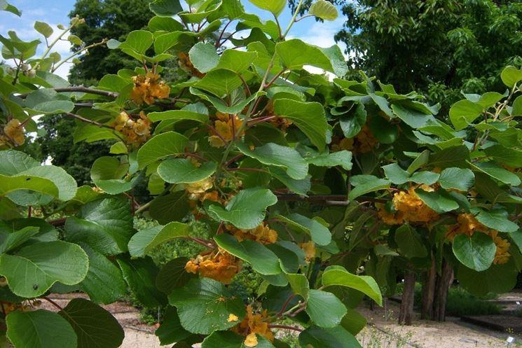 piante di kiwi