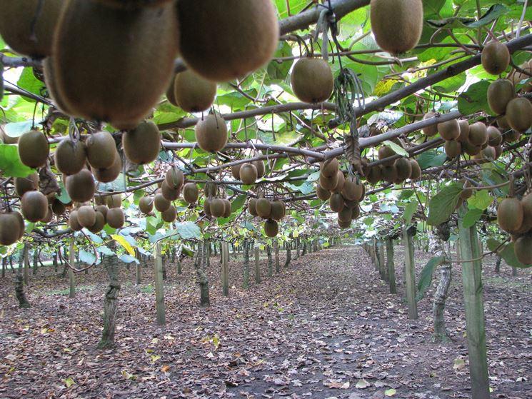 Pianta kiwi frutteto come curare la pianta del kiwi for Kiwi pianta