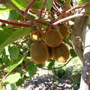 pianta kiwi prezzo