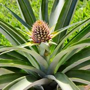 Una <strong>pianta di ananas</strong> in vaso