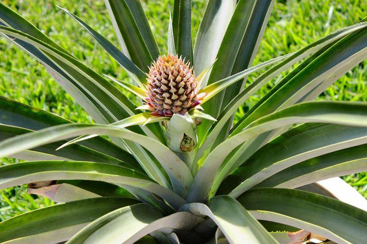 Una <em>pianta di ananas</em> in vaso