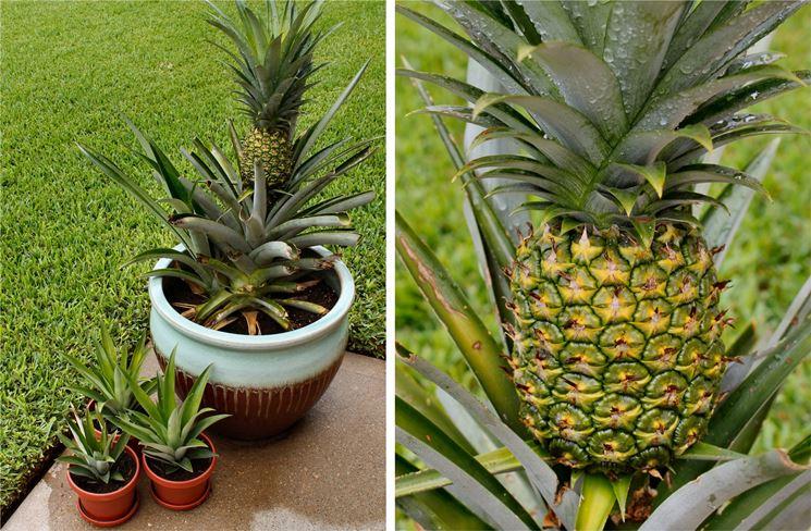 Tutto il necessario per piantare ananas
