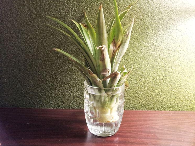La corona dell'ananas appena invasata