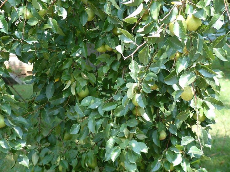 Piante da frutta frutteto coltivare piante da frutta for Piante nane da frutto