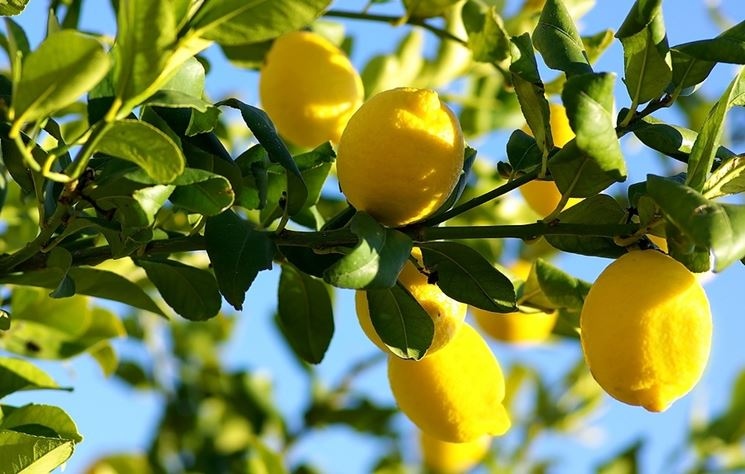 pianta limoni