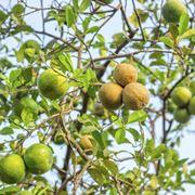 Una pianta di limone in terrazzo