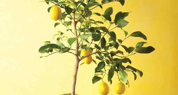 Potare limone frutteto come potare il limone for Coltivare limoni