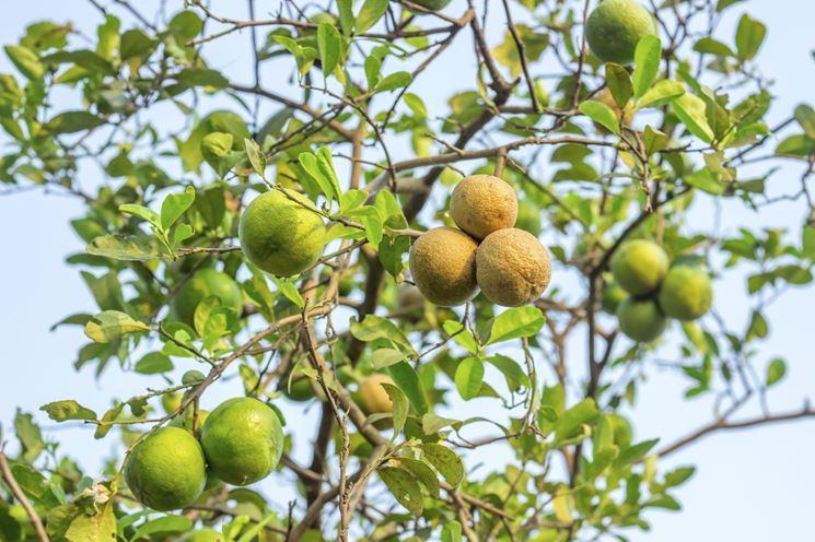 Potare limone frutteto come potare il limone for Potatura limone periodo