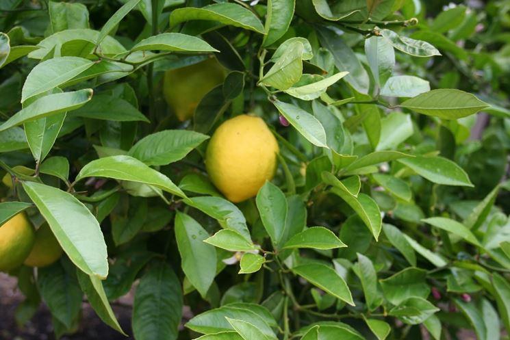 Una pianta di limone malata
