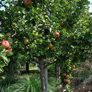 Fragole fragaria sspp fragaria sspp frutteto for Potatura piante da frutto