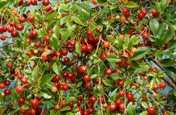 Valgono per tutti gli alberi da frutto le seguenti ulteriori regole e