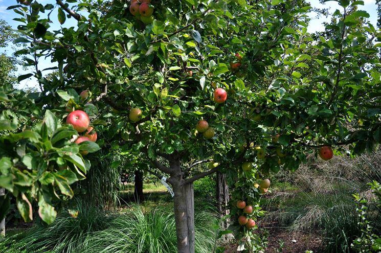 potatura alberi da frutto frutteto potare alberi da frutto
