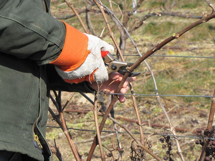 Potatura alberi da frutto frutteto potare alberi da frutto - Potatura uva da tavola ...