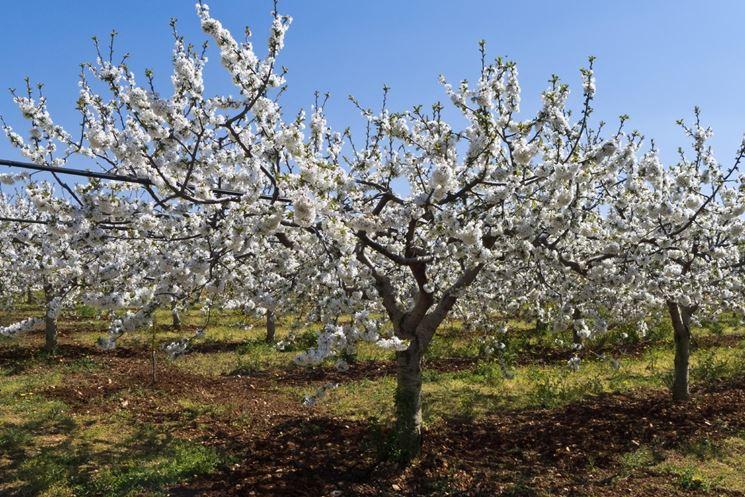 Piante Di Ciliegio Autofertili : Potatura alberi da frutto frutteto potare