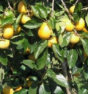 Potatura alberi frutto frutteto potatura albicocco for Potatura alberi da frutto